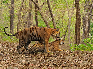 Bengal tiger (Panthera tigris) pair mating in forest. Ranthambhore National Park, India. Sequence 1/5.  -  Andy Rouse