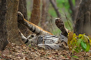Bengal tiger (Panthera tigris) male rolling on ground after mating. Ranthambhore National Park, India.  -  Andy Rouse