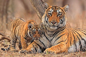 Bengal tiger (Panthera tigris) female and cub, portrait. Ranthambhore National Park, India.  -  Andy Rouse