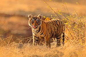 Bengal tiger (Panthera tigris) cub standing, licking lips. Ranthambhore National Park, India.  -  Andy Rouse