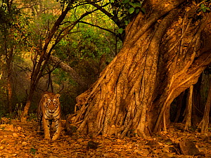 Bengal tiger (Panthera tigris) walking past Banyan Ficus sp tree. Ranthambhore National Park, India.  -  Andy Rouse