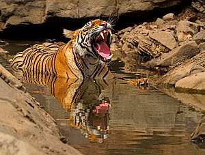 Bengal tiger (Panthera tigris) with mouth open, cooling in pool during summer heat. Ranthambhore National Park, India.  -  Andy Rouse