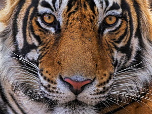 Bengal tiger (Panthera tigris) male, sub-adult aged three years, face portrait. Ranthambhore National Park, India.  -  Andy Rouse