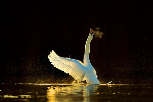 Mute swan (Cygnus olor) stretching wings on water. In morning light, Wales, UK. February.  -  Andy Rouse