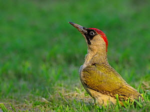 Green woodpecker (Picus viridis) feeding on ground. UK. July.  -  Andy Rouse