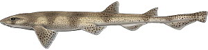 Illustration of Spiny dogfish (Squalus acanthias) lateral view of female. Images 1626307 - 1626310 show variation in skin patterns in this species.  -  Marc Dando