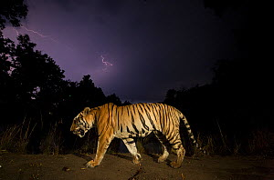 Bengal tiger (Panthera tigris tigris) walking at night, with monsoon clouds and lightning. Kanha National Park, Central India. Dominant male (T29)  -  Yashpal Rathore