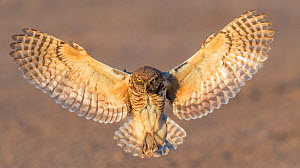 Burrowing owl (Athene cunicularia) male flying with insect in beak. Will present prey to female to feed to chicks. In evening light, Marana, Arizona, USA. May.  -  Jack Dykinga