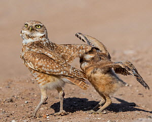 Burrowing owl (Athene cunicularia) male covering fledgling with wings to protect from danger. Fledgling flapping wings in protest. Marana, Arizona, USA. May. Sequence 1/2.  -  Jack Dykinga