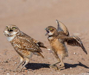 Burrowing owl (Athene cunicularia) male covering fledgling with wings to protect from danger. Fledgling vocalising and flapping wings in protest. Marana, Arizona, USA. May. Sequence 2/2.  -  Jack Dykinga
