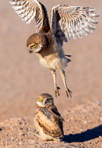 Burrowing owl (Athene cunicularia), two fledglings aged one month, one testing wings in flight above sibling. Marana, Arizona, USA. May.  -  Jack Dykinga