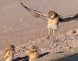 Burrowing owl (Athene cunicularia) fledgling testing wings in flight with siblings observing. Aged one month. Marana, Arizona, USA. May.  -  Jack Dykinga