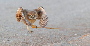 Burrowing owl (Athene cunicularia) fledgling aged one month testing wings in flight whilst playing with stick. Marana, Arizona, USA. May.  -  Jack Dykinga