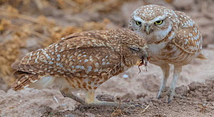 Burrowing owl (Athene cunicularia) female receiving food from male to feed to chicks. Marana, Arizona, USA. May. Sequence 1/2.  -  Jack Dykinga