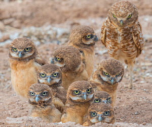 Burrowing owl (Athene cunicularia) female and ten chicks aged a few weeks. Marana, Arizona, USA. May. - Jack Dykinga
