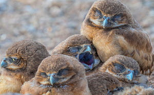 Burrowing owl (Athene cunicularia), five chicks huddled together, sleeping at burrow entrance in afternoon light. Marana, Arizona, USA. May.  -  Jack Dykinga