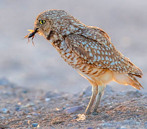 Burrowing owl (Athene cunicularia) male, insect in beak to hand over to female to feed to chicks. In evening light, Marana, Arizona, USA.  -  Jack Dykinga