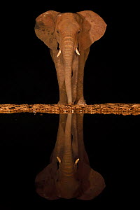 RF - African bush elephant, (Loxodonta africana) at night, reflected in waterhole, South Africa  -  Staffan Widstrand