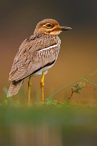 Water thick-knee (Burhinus vermiculatus) portrait, Zimanga Private Nature Reserve, KwaZulu Natal, South Africa - Staffan Widstrand