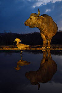Hammerkop (Scopus umbretta) at waterhole at dusk with an African buffalo / Cape buffalo (Syncerus caffer) in the background, Zimanga Private Nature Reserve, KwaZulu Natal, South Africa.  -  Staffan Widstrand