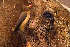 Common Warthog (Phacochoerus africanus), with a Red-billed Oxpecker (Buphagus erythrorhynchus) eating its ticks and other parasites, Zimanga Private Nature Reserve, KwaZulu Natal, South Africa  -  Staffan Widstrand