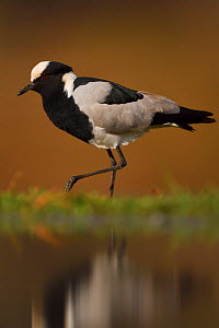 Blacksmith Plover, (Vanellus armatus) by water, Zimanga Private Nature Reserve, KwaZulu Natal, South Africa  -  Staffan Widstrand
