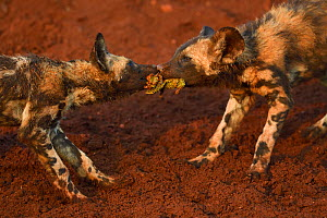African Wild Dog / Painted Dog, (Lycaon pictus) fighting over prey, Zimanga Private Nature Reserve, KwaZulu Natal, South Africa  -  Staffan Widstrand