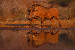 Common Warthog (Phacochoerus africanus) reflected in water hole, Zimanga Private Nature Reserve, KwaZulu Natal, South Africa  -  Staffan Widstrand