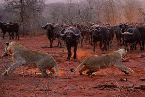 RF - African lion, (Panthera leo) confronted by a herd of African buffalo / Cape buffalo (Syncerus caffer), Zimanga Private Nature Reserve, KwaZulu Natal, South Africa  -  Staffan Widstrand