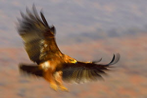 Tawny eagle (Aquila rapax) in flight, Zimanga Private Nature Reserve, KwaZulu Natal, South Africa  -  Staffan Widstrand
