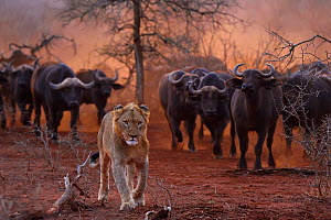 African lion, (Panthera leo) watched by a herd of African buffalo / Cape buffalo (Syncerus caffer), Zimanga Private Nature Reserve, KwaZulu Natal, South Africa. Conservation status: Vulnerable.  -  Staffan Widstrand