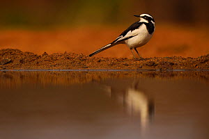 African Pied Wagtail (Motacilla aguimp) reflecting in water, Zimanga Private Nature Reserve, KwaZulu Natal, South Africa  -  Staffan Widstrand