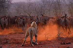 African lion, (Panthera leo) confronted by a herd of African buffalo / Cape buffalo (Syncerus caffer), Zimanga Private Nature Reserve, KwaZulu Natal, South Africa  -  Staffan Widstrand