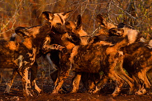 African Wild Dog / Painted Dog, (Lycaon pictus) group playing, Zimanga Private Nature Reserve, KwaZulu Natal, South Africa - Staffan Widstrand