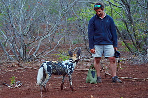 African Wild Dog / Painted Dog, (Lycaon pictus) together with guide Dean Wraith, at Zimanga Private Nature Reserve, KwaZulu Natal, South Africa - Staffan Widstrand