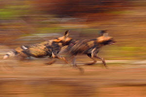 African Wild Dog / Painted Dog, (Lycaon pictus) two running soft focus. Zimanga Private Nature Reserve, KwaZulu Natal, South Africa - Staffan Widstrand