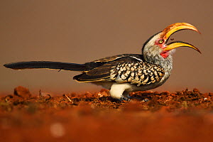 Southern Yellow-billed Hornbill, (Tockus leucomelas), eating fly larvae at a carrion site, Zimanga Private Nature Reserve, KwaZulu Natal, South Africa  -  Staffan Widstrand