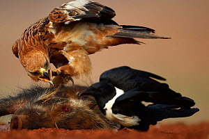 Tawny eagle (Aquila rapax), and Pied Crow, (Corvus albus) two feeding on warthog carcass, Zimanga Private Nature Reserve, KwaZulu Natal, South Africa  -  Staffan Widstrand