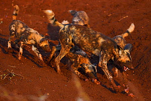 African Wild Dogs / Painted Dogs, (Lycaon pictus) running and playing, Zimanga Private Nature Reserve, KwaZulu Natal, South Africa - Staffan Widstrand