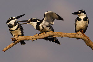 RF - Pied kingfisher (Ceryle rudis) group of three perched on branch, squabbling, Zimanga Private Nature Reserve, KwaZulu Natal, South Africa - Staffan Widstrand