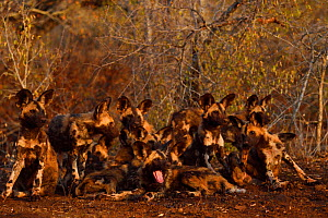 African Wild Dog / Painted Dog, (Lycaon pictus) group resting, Zimanga Private Nature Reserve, KwaZulu Natal, South Africa - Staffan Widstrand