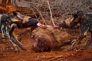 African Wild Dog / Painted Dog, (Lycaon pictus) eating a Warthog, Zimanga Private Nature Reserve, KwaZulu Natal, South Africa - Staffan Widstrand