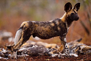 African Wild Dog / Painted Dog, (Lycaon pictus) standing alert whilst other are rest, Zimanga Private Nature Reserve, KwaZulu Natal, South Africa - Staffan Widstrand