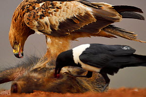 Tawny eagle (Aquila rapax), and Pied Crow, (Corvus albus) feeding on warthog carcass, Zimanga Private Nature Reserve, KwaZulu Natal, South Africa  -  Staffan Widstrand