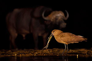 Hammerkop / Hammerhead stork (Scopus umbretta) eating a toad, with an African buffalo / Cape buffalo (Syncerus caffer) in the background at night, Zimanga Private Nature Reserve, KwaZulu Natal, South...  -  Staffan Widstrand