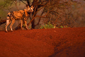 African Wild Dog / Painted Dog, (Lycaon pictus) looking at camera, Zimanga Private Nature Reserve, KwaZulu Natal, South Africa - Staffan Widstrand