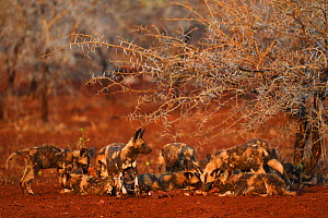 African Wild Dog / Painted Dog pack (Lycaon pictus) eating carcass, Zimanga Private Nature Reserve, KwaZulu Natal, South Africa - Staffan Widstrand