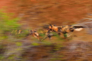 African Wild Dog / Painted Dog, (Lycaon pictus) group running, blurred motion, Zimanga Private Nature Reserve, KwaZulu Natal, South Africa - Staffan Widstrand