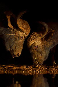 African buffalo / Cape buffalo (Syncerus caffer), two head to head at waterhole, Zimanga Private Nature Reserve, KwaZulu Natal, South Africa  -  Staffan Widstrand