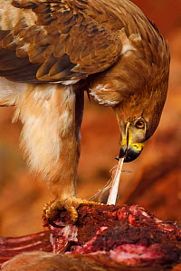 Tawny eagle (Aquila rapax) feeding on carcass, Zimanga Private Nature Reserve, KwaZulu Natal, South Africa  -  Staffan Widstrand